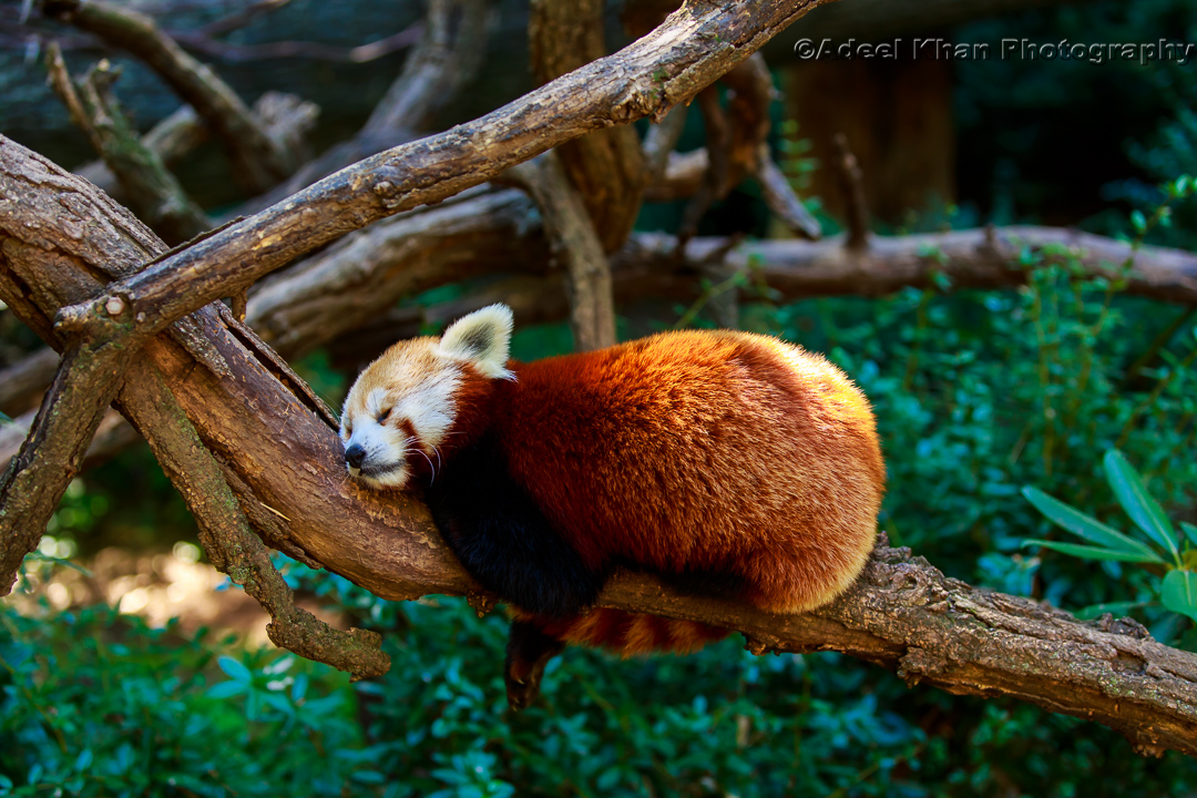 Red Panda, adeelkhanphotography, adeel khan photography