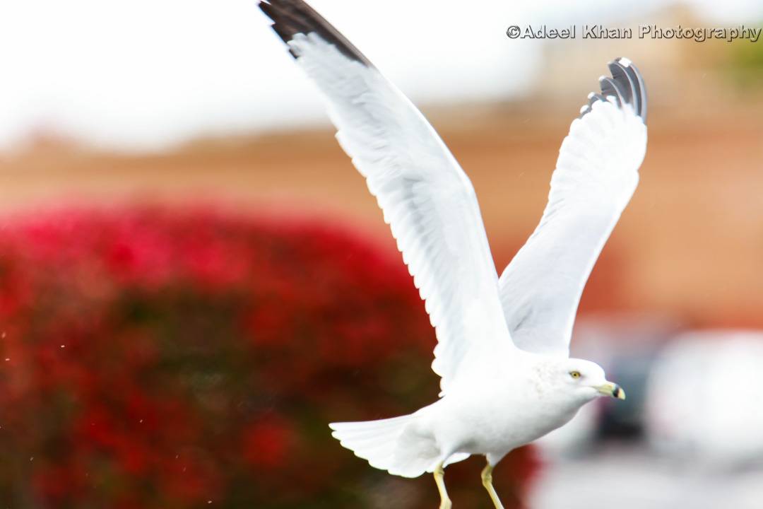 seagul, fly, adeelkhanphotography, adeel khan photography