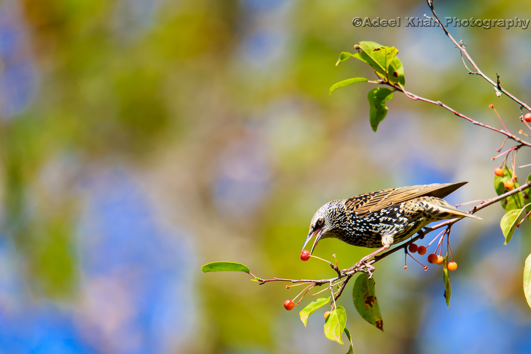 European Starlings, food, adeelkhanphotography, adeel khan photography
